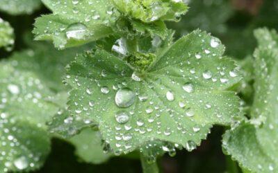 FRAUENpflanze – Frauenmantel
